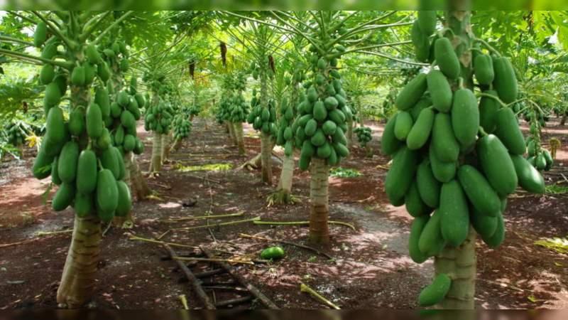 Cae precio de papaya de 9 a 4 y 5 pesos el kilogramo
