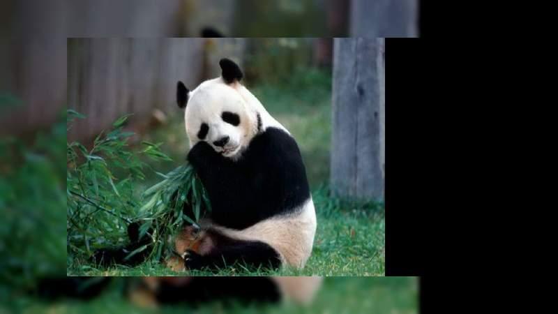 ¿Sabías que el oso panda tiene un apetito insaciable?, puede durar hasta 12 horas al día comiendo
