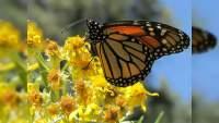 El 28 de noviembre la apertura de los santuarios de la mariposa Monarca en Ocampo, Angangueo y Senguio