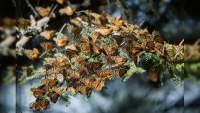 Abren los Santuarios de la Mariposa Monarca, con medidas estrictas para evitar el COVID-19