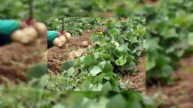 Michoacán, 5° productor nacional de jícama