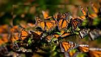 Para evitar contagios por Covid-19, cierra el santuario de la mariposa Monarca en Ocampo, Michoacán