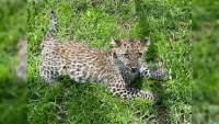 Nuevo ejemplar de leopardo en el Zoológico de Morelia