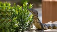 Nuevo integrante en la familia Varanidae en el zoo de Morelia