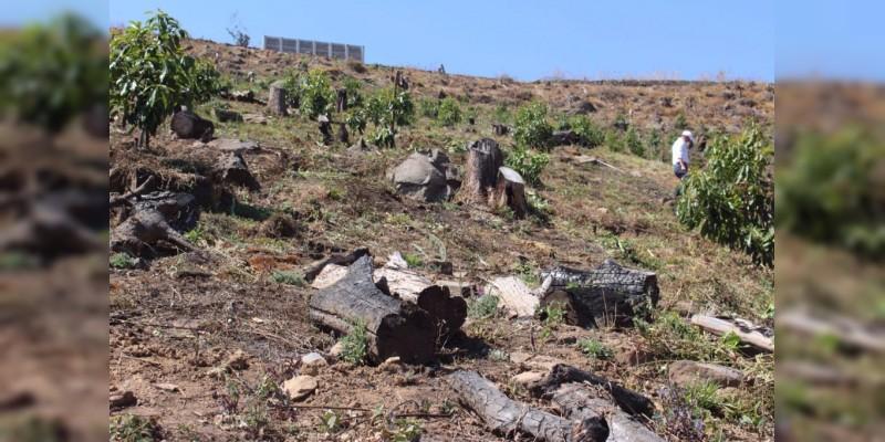 Desmontan más de 600 plantas de aguacate sembradas de forma ilegal, en Zitácuaro, Michoacán