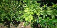 Arrancan en  Julio acciones para combate de la plaga TRIPS en 62 mil hectáreas de limón en Tierra Caliente