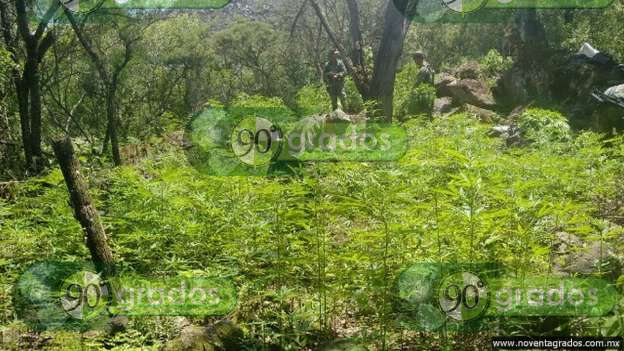 Ejército localiza plantío de marihuana en Zacapu, Michoacán