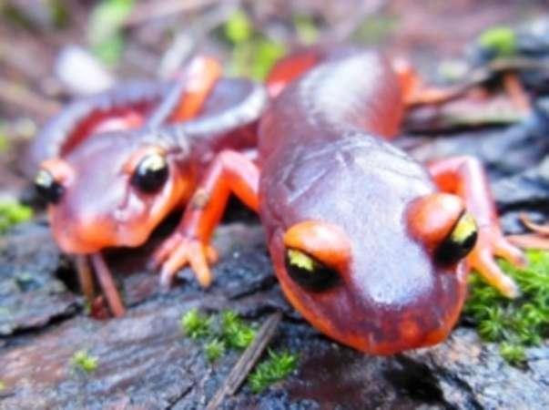 Hongos asiáticos podrían acabar con salamandras de Norteamérica