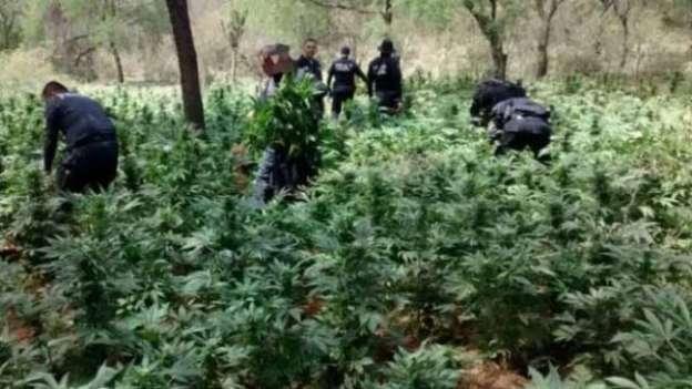 Localizan plantío de marihuana en Ziracuaretiro, Michoacán