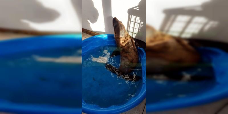 Encuentran a un lobo marino abandonado en Morelia