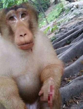 VIDEO: Causan indignación crueles sujetos que arrojan cuete a un mono en Malasia