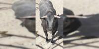 Hortelano, el toro indultado por Castella, está muy bien y regresa a la ganadería