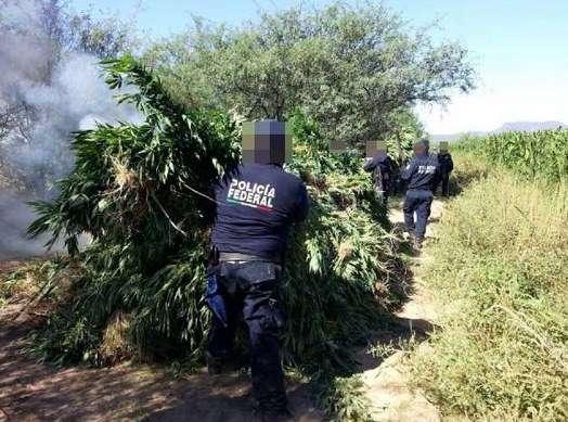 Destruyen más de mil toneladas de marihuana ocultos entre cultivos en Sonora