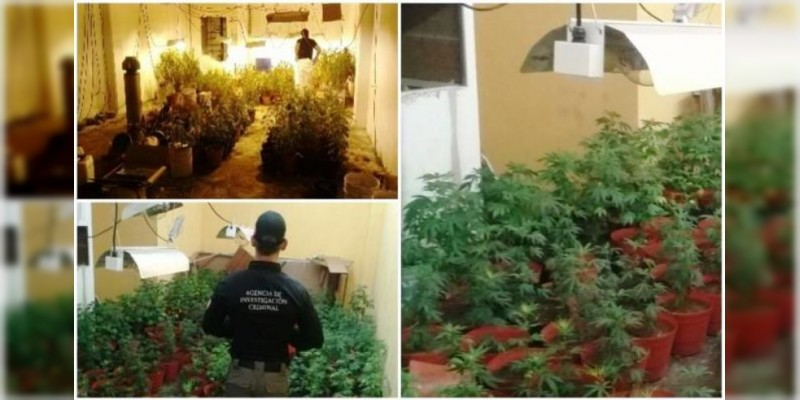 Localizan cultivo de marihuana dentro de una vivienda en Sinaloa