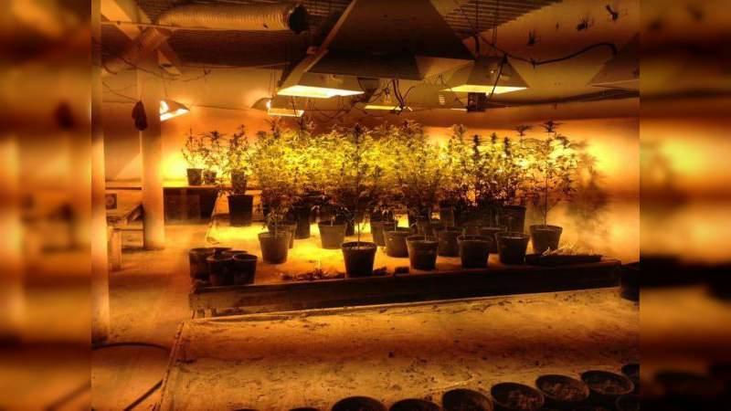 Aseguran en Baja California mas de 2 mil plantas de marihuana en cultivo interior
