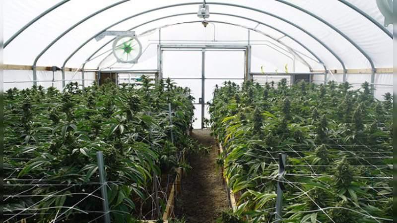 Desmantelan invernadero de marihuana en Tijuana, Baja California