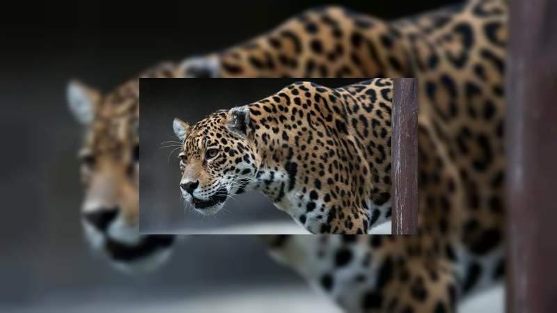 Jaguar escapa en Zoológico de Nueva Orleans y mata a 6 animales