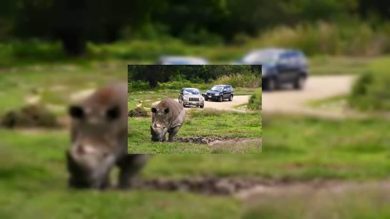 Rinoceronte ataca una camioneta familiar en Africam Safari, Puebla