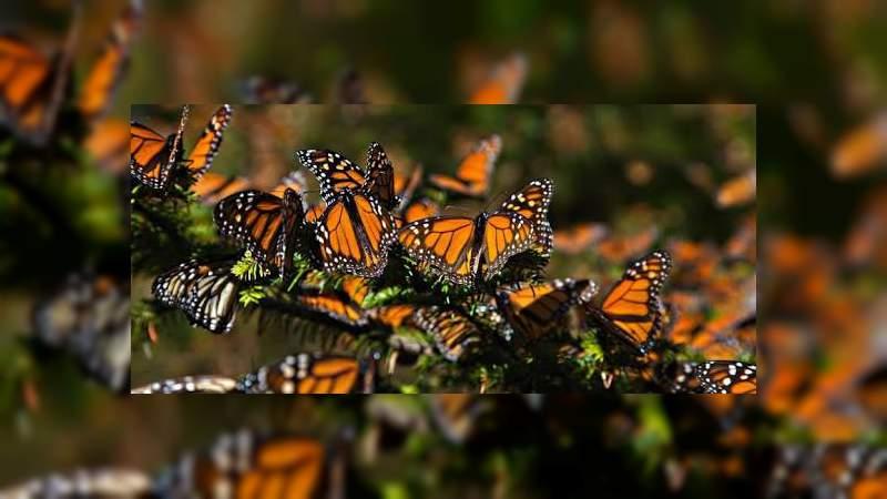 Aumento en niveles de dióxido de carbono amenaza a las mariposas monarca