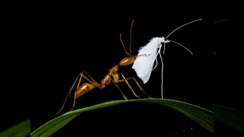 Nuevo estudio revela ciclos evolutivos en hormigas