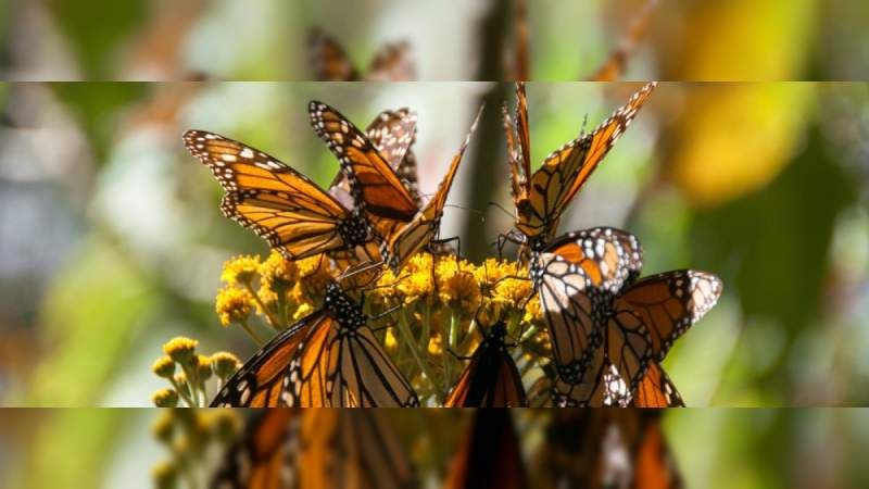 Arriba Mariposa Monarca a santuarios de Michoacán