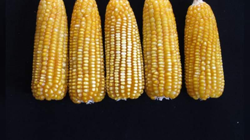 Desarrollan semilla de maíz amarillo, mejorada para la zona Centro de México