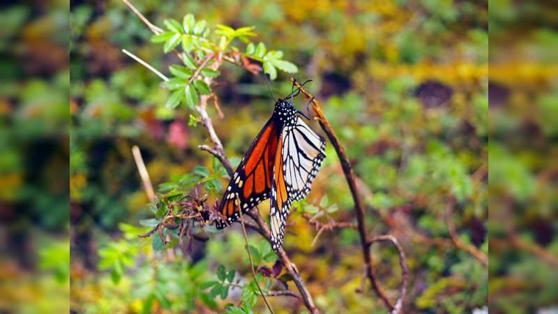 Este sábado 16 de noviembre abren los santuarios de la mariposa monarca en Ocampo
