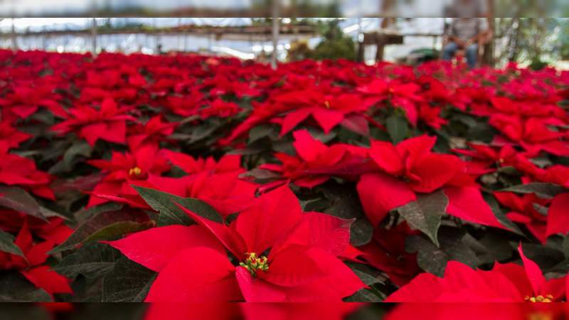 México espera concluir el año con producción de 19 millones de flores de nochebuena