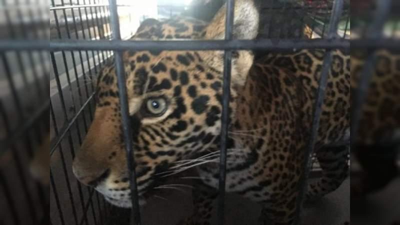 Jaguar escapa de una casa en Chihuahua