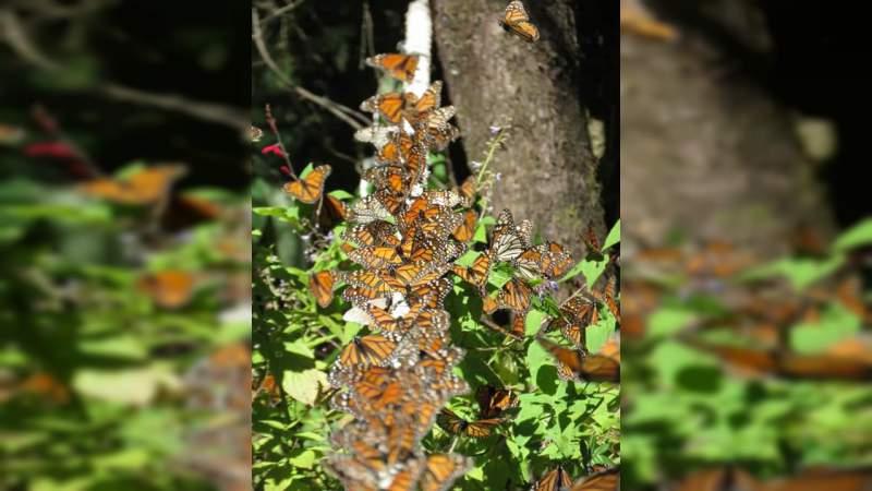 Sectur invita a los santuarios de la mariposa Monarca