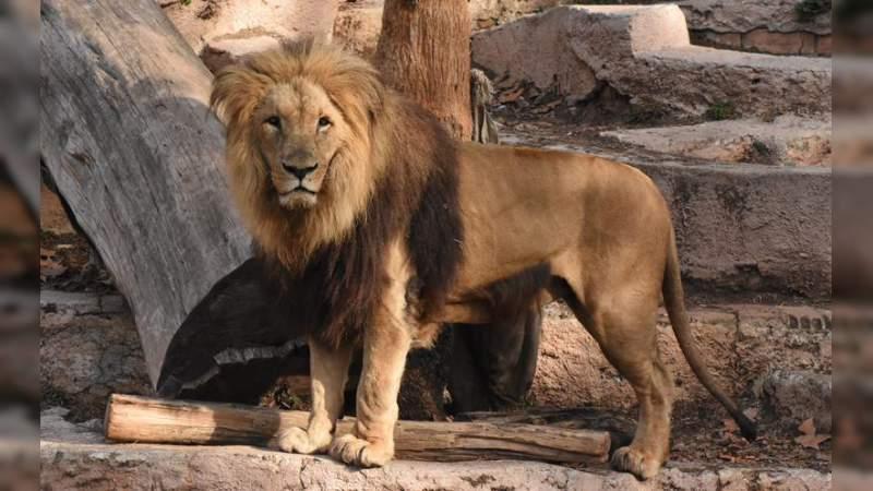 Alerta a autoridades falso reporte de escape de león del Zoológico de Morelia
