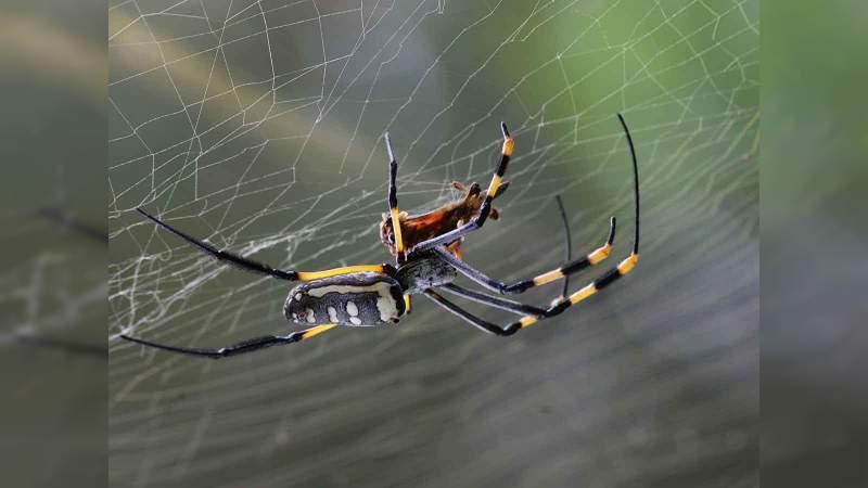 Científicos aseguran que el veneno de araña es más efectivo que el Viagra