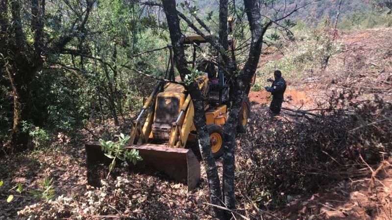Talan bosque para sembrar aguacate en la Reserva de la Monarca en Michoacán