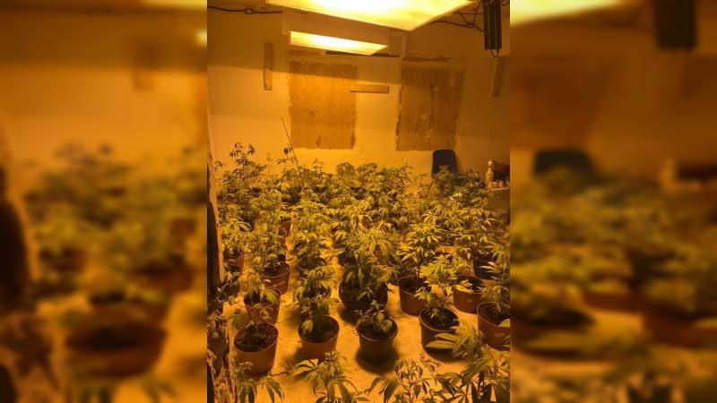 Aseguran plantío de marihuana dentro de una vivienda en Tamaulipas