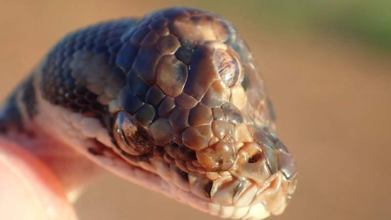 Descubren serpiente de tres ojos
