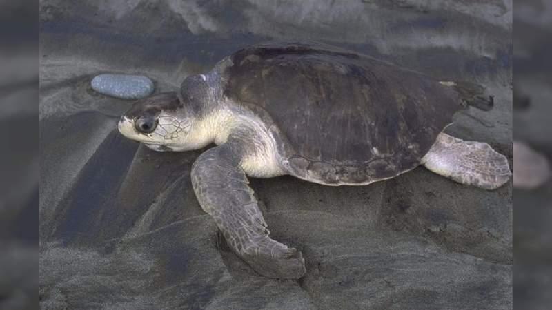 Se prepara la Costa michoacana para el arribo de tortugas marinas: Sectur