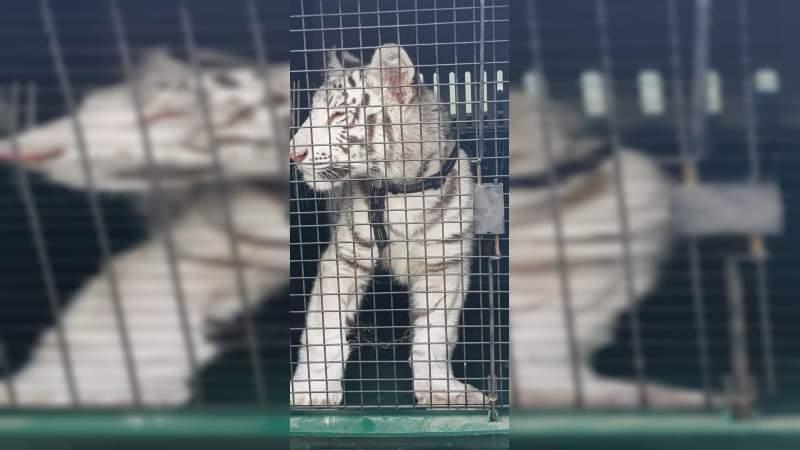 Cachorro de tigre blanco es rescatado tras un cateo en Veracruz