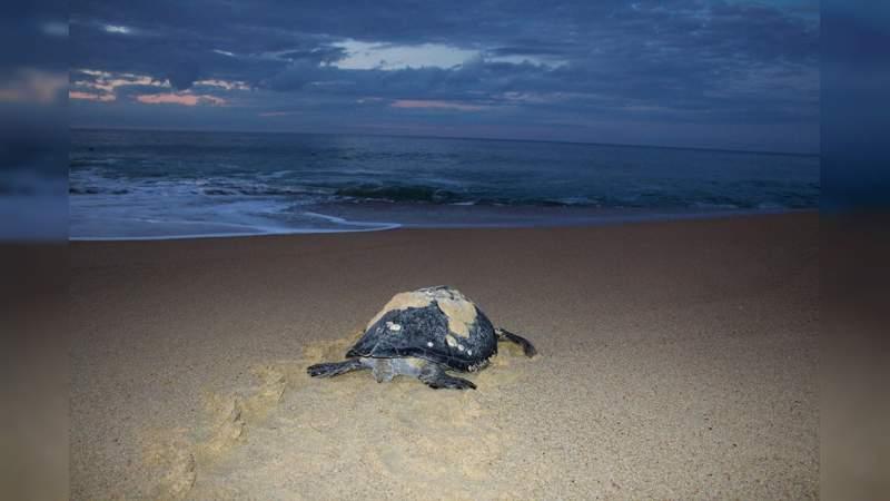 Llama Semaccdet a erradicar depredación de tortugas marinas.