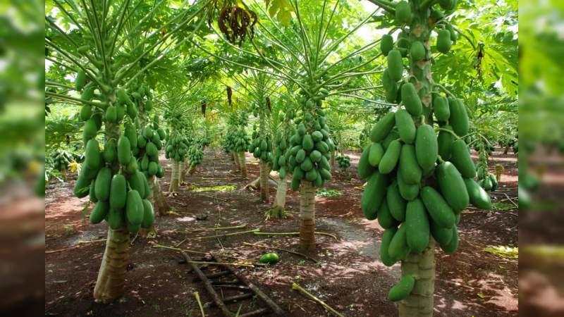 A partir de octubre se iniciará con la siembra de huertas de papaya en Michoacán