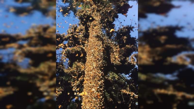 Invita Sectur a conocer las colonias de miles de mariposas en el Región de la Monarca