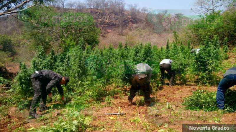 Aseguran y destruyen más de 50 mil plantas de mariguana en Arteaga, Michoacán
